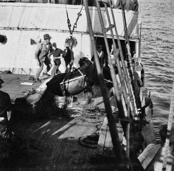 Cow in a sling being unloaded from a ship for delivery to Dog Island. in 1924.