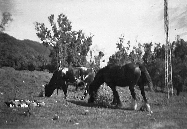 Percy the bull and Floss the mare, at Raoul Island c1950
