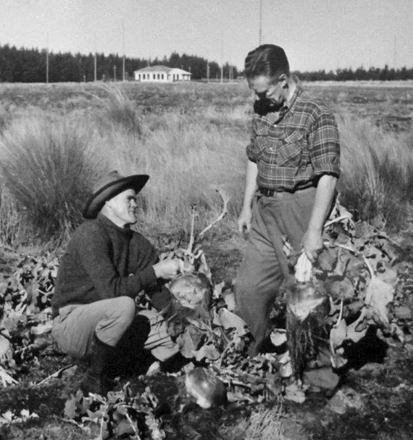 Harvesting swedes at the new Awarua Radio farm in 1954 or early 1955. Farm manager GW Pollard (left) with radio manager Alec Wallace