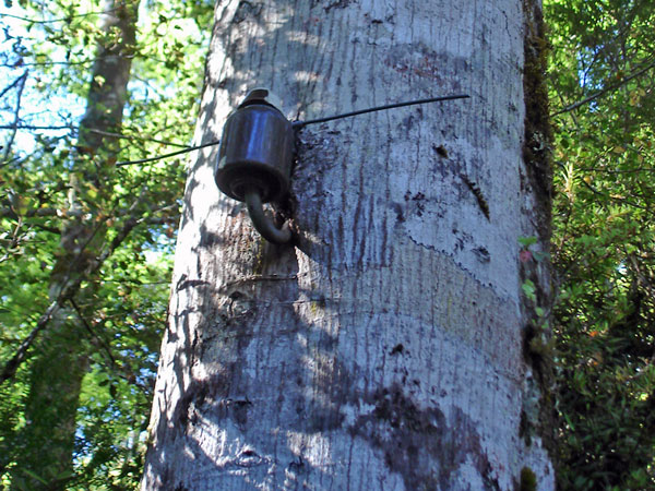 In 2010, this telephone line insulator was still visible, mounted on a tree