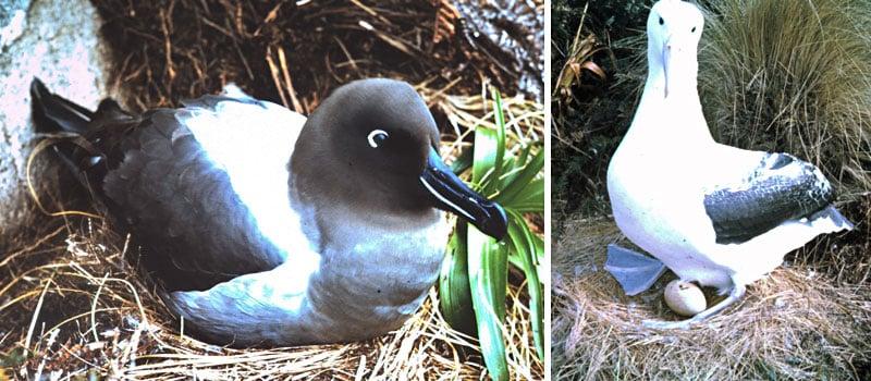 sooty albatross and royal albatross